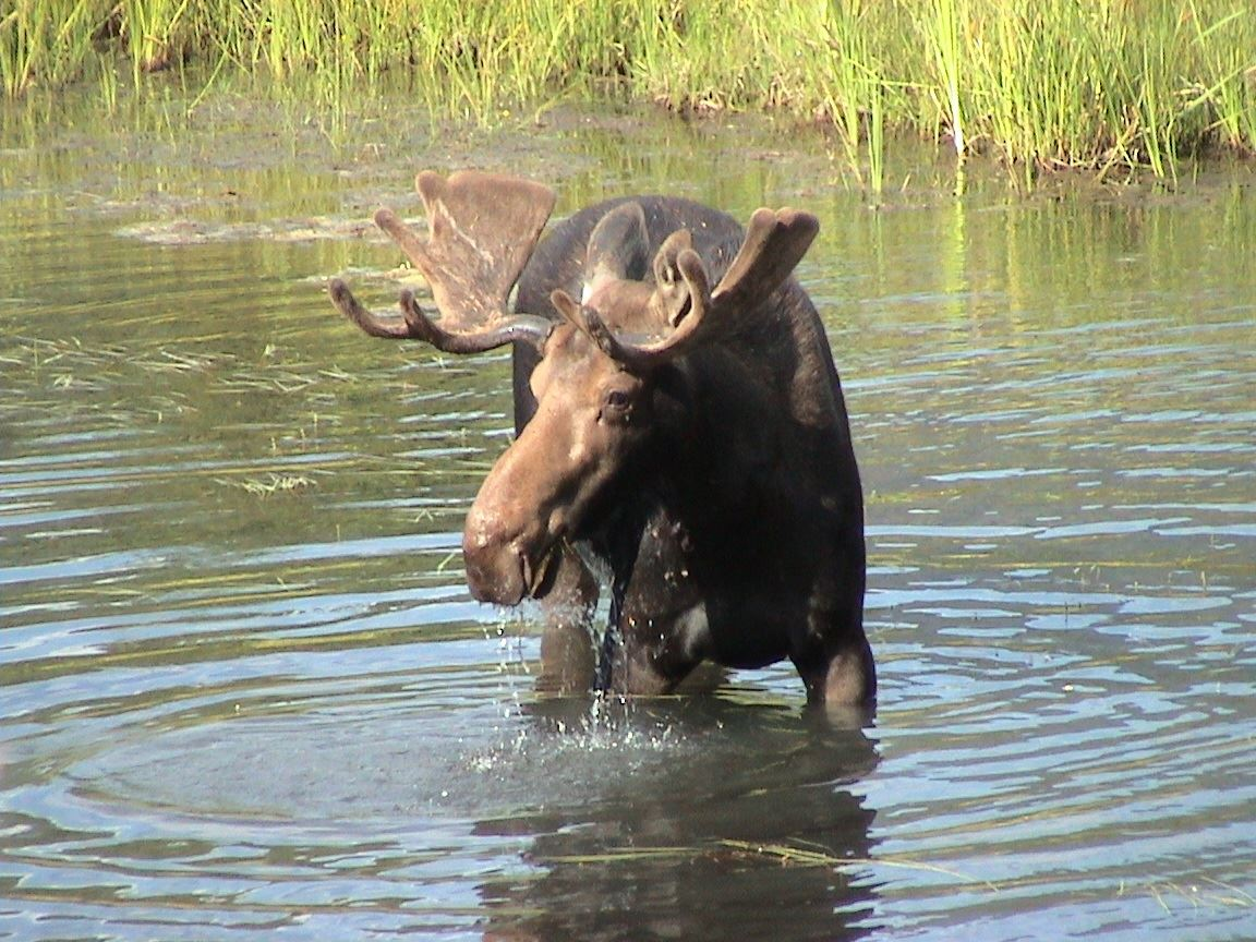 Moose safari - Meet the Swedish National Symbol in the wild